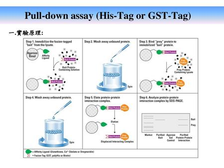 Pull-down assay (His-Tag or GST-Tag)