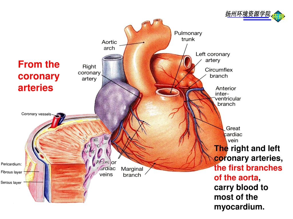 From the coronary arteries The right and left coronary arteries,