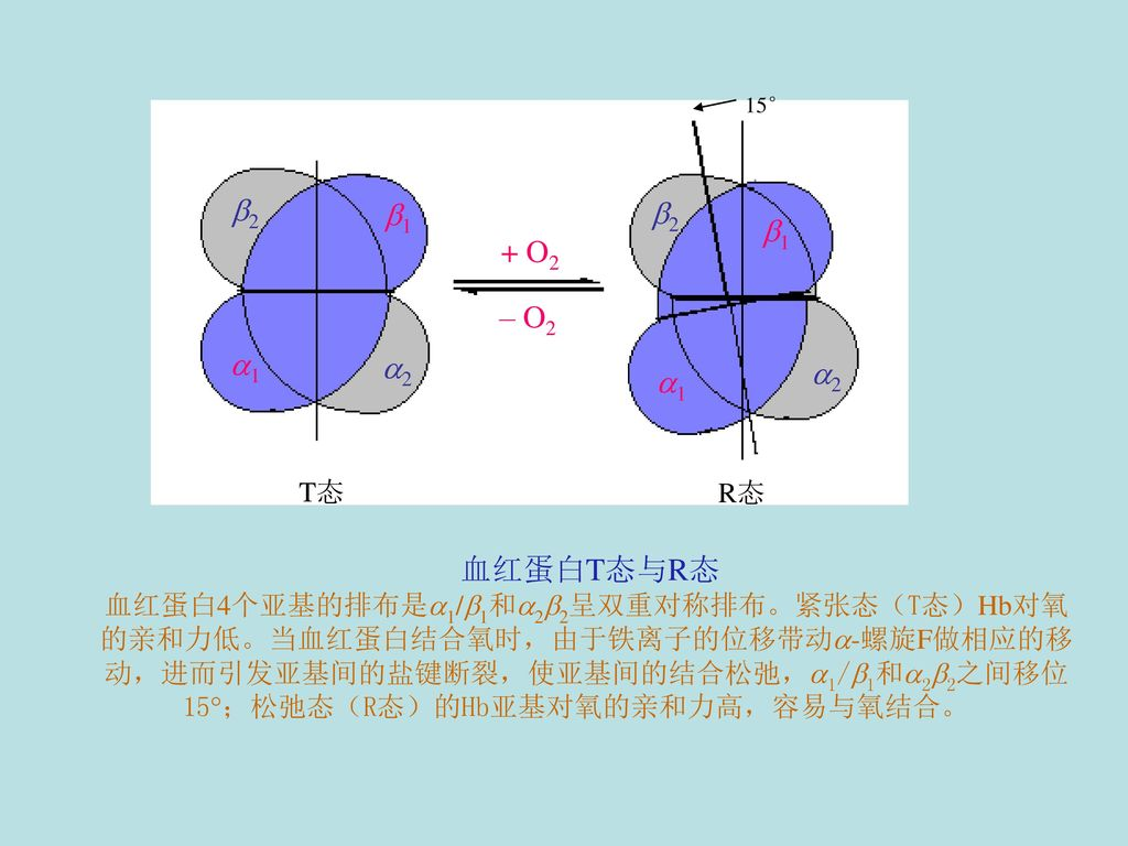 血红蛋白T态与R态 血红蛋白4个亚基的排布是1/1和22呈双重对称排布。紧张态(T态)Hb对氧. 的亲和力低。当血红蛋白结合氧时,由于铁离子的位移带动-螺旋F做相应的移. 动,进而引发亚基间的盐键断裂,使亚基间的结合松弛,1/1和22之间移位.