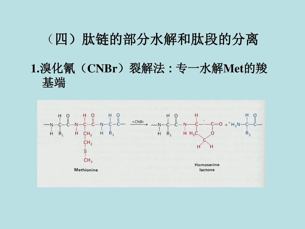 (四)肽链的部分水解和肽段的分离 1.溴化氰(CNBr)裂解法 : 专一水解Met的羧基端