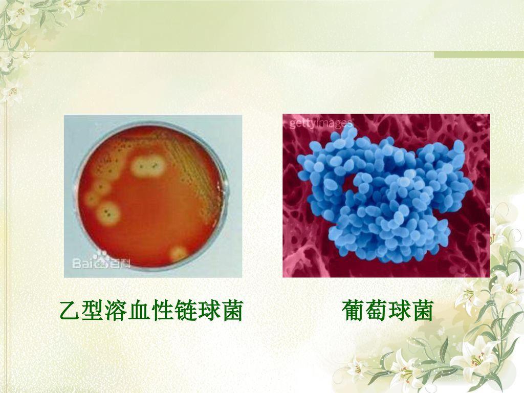 乙型溶血性链球菌 葡萄球菌