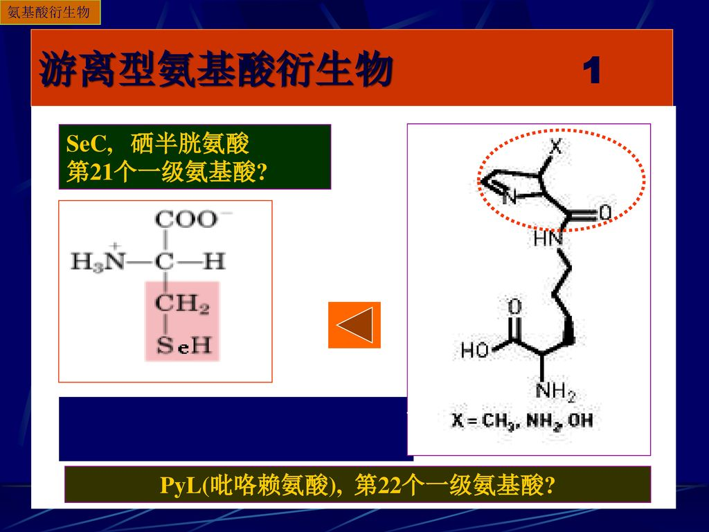 游离型氨基酸衍生物 1 SeC, 硒半胱氨酸 第21个一级氨基酸 PyL(吡咯赖氨酸), 第22个一级氨基酸