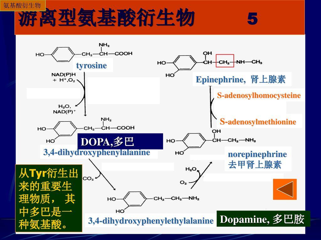 游离型氨基酸衍生物 5 DOPA,多巴 从Tyr衍生出来的重要生理物质, 其中多巴是一种氨基酸。 Dopamine, 多巴胺
