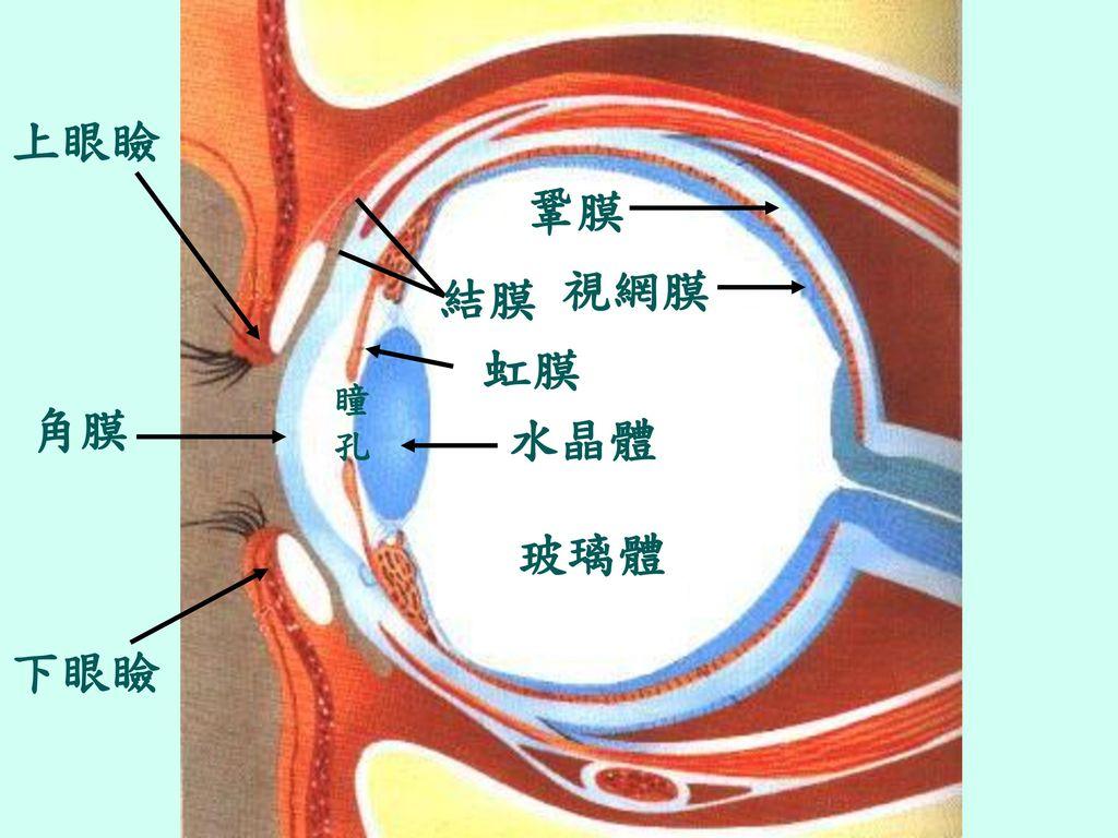 上眼瞼 鞏膜 視網膜 結膜 虹膜 瞳 孔 角膜 水晶體 玻璃體 下眼瞼
