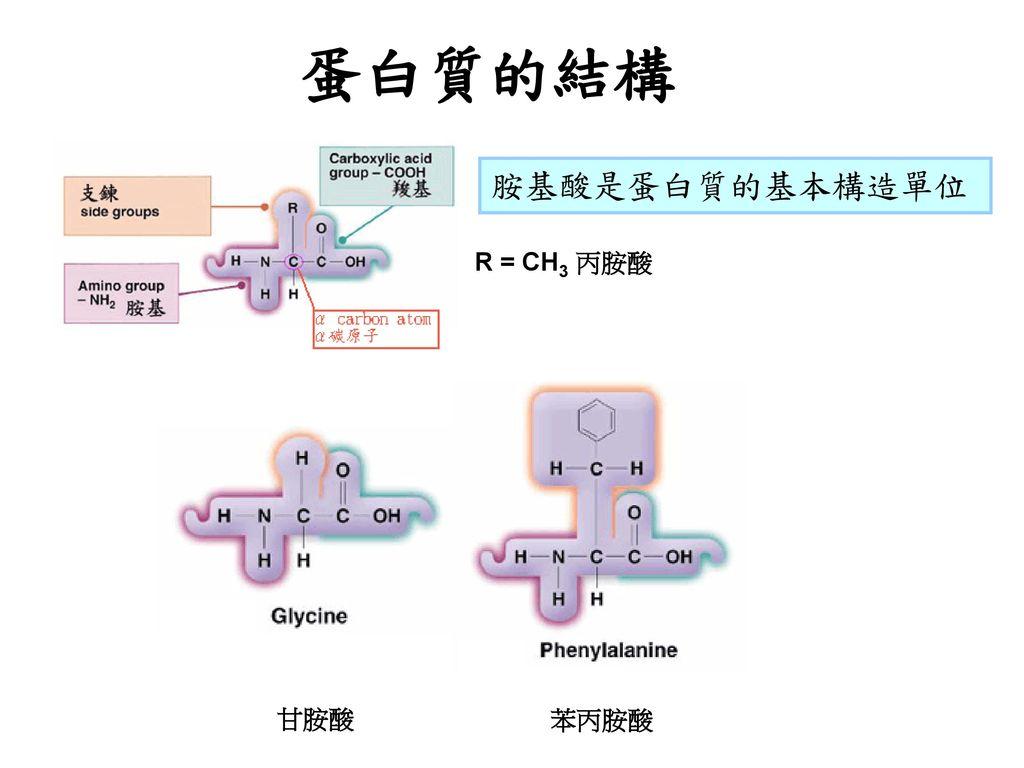 蛋白質的結構 胺基酸是蛋白質的基本構造單位 R = CH3 丙胺酸 甘胺酸 苯丙胺酸
