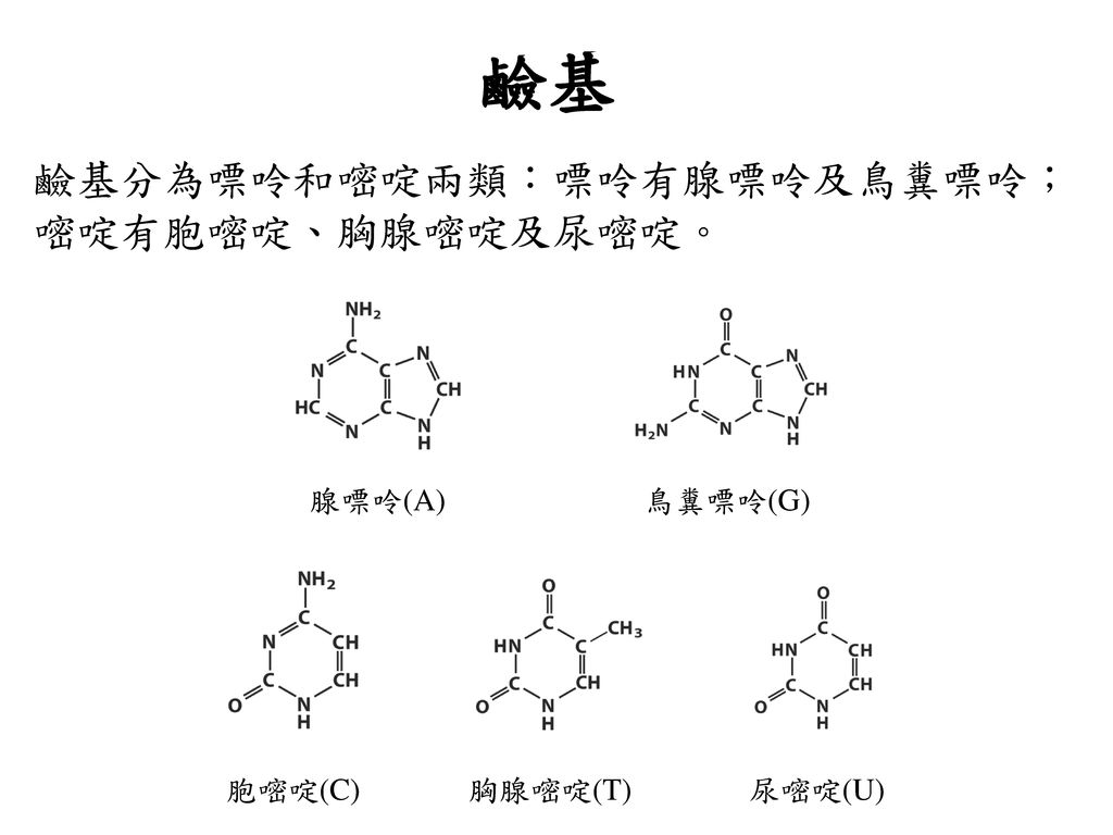 鹼基 鹼基分為嘌呤和嘧啶兩類:嘌呤有腺嘌呤及鳥糞嘌呤;嘧啶有胞嘧啶、胸腺嘧啶及尿嘧啶。 腺嘌呤(A) 鳥糞嘌呤(G) 胞嘧啶(C)