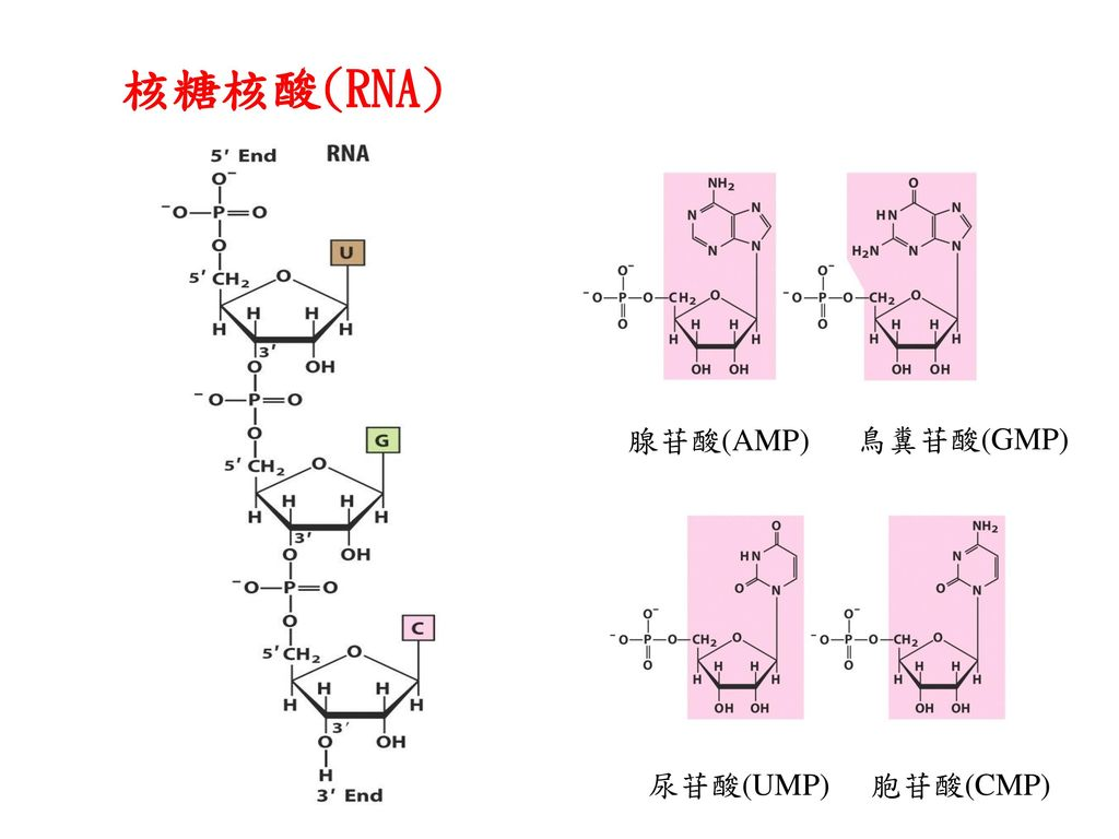 核糖核酸(RNA) 腺苷酸(AMP) 鳥糞苷酸(GMP) 尿苷酸(UMP) 胞苷酸(CMP)