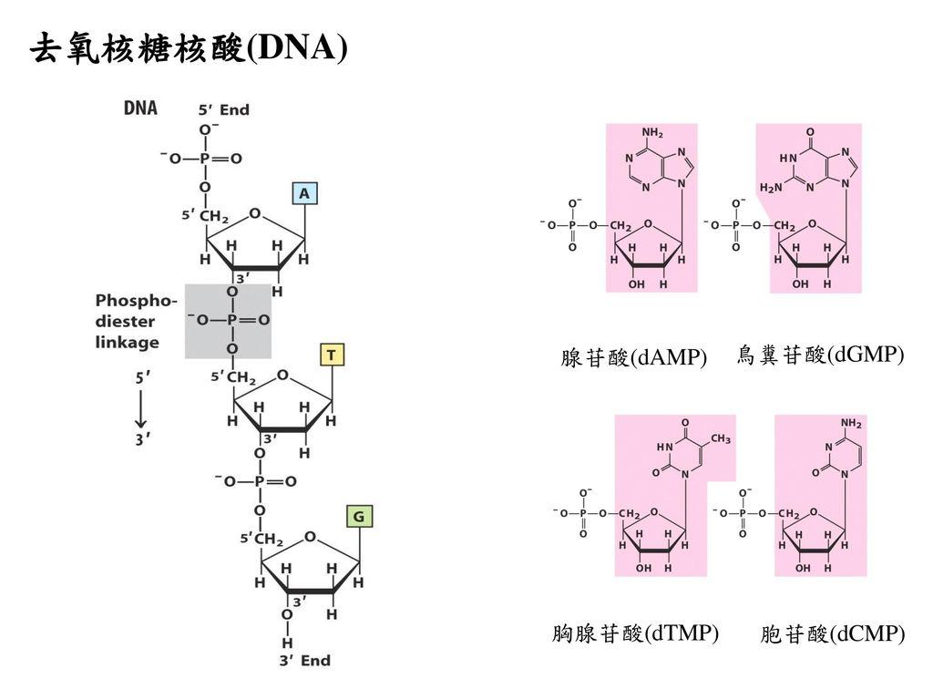 去氧核糖核酸(DNA) 腺苷酸(dAMP) 鳥糞苷酸(dGMP) 胸腺苷酸(dTMP) 胞苷酸(dCMP)