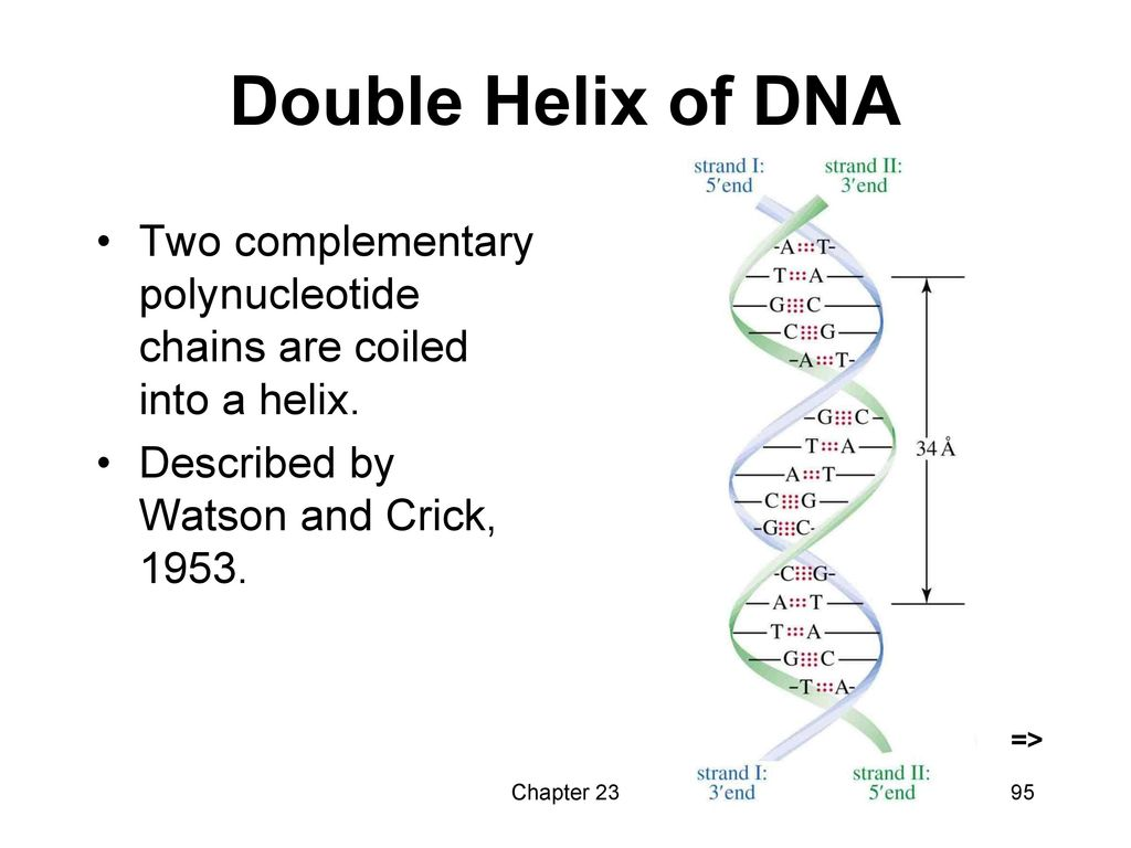Double Helix of DNA => Two complementary polynucleotide chains are coiled into a helix. Described by Watson and Crick, 1953.