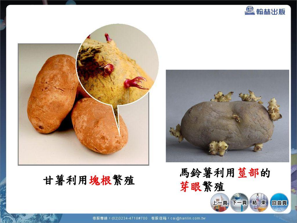 馬鈴薯利用莖部的 芽眼繁殖 甘薯利用塊根繁殖