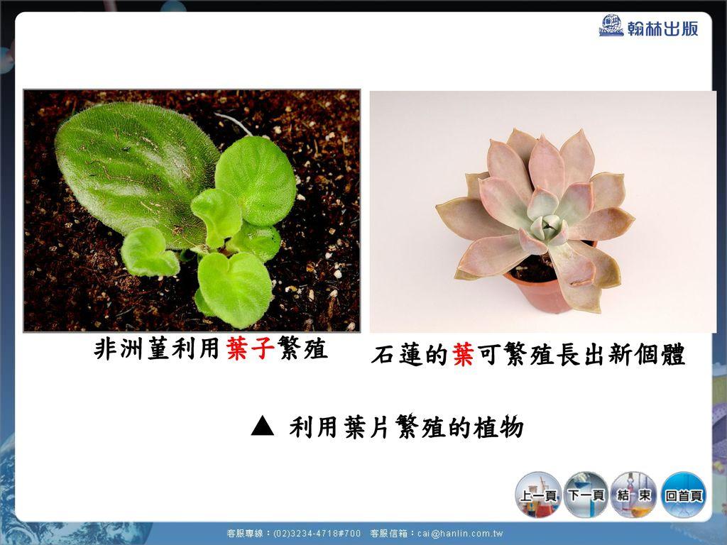 非洲菫利用葉子繁殖 石蓮的葉可繁殖長出新個體  利用葉片繁殖的植物