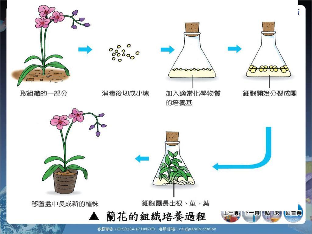  蘭花的組織培養過程