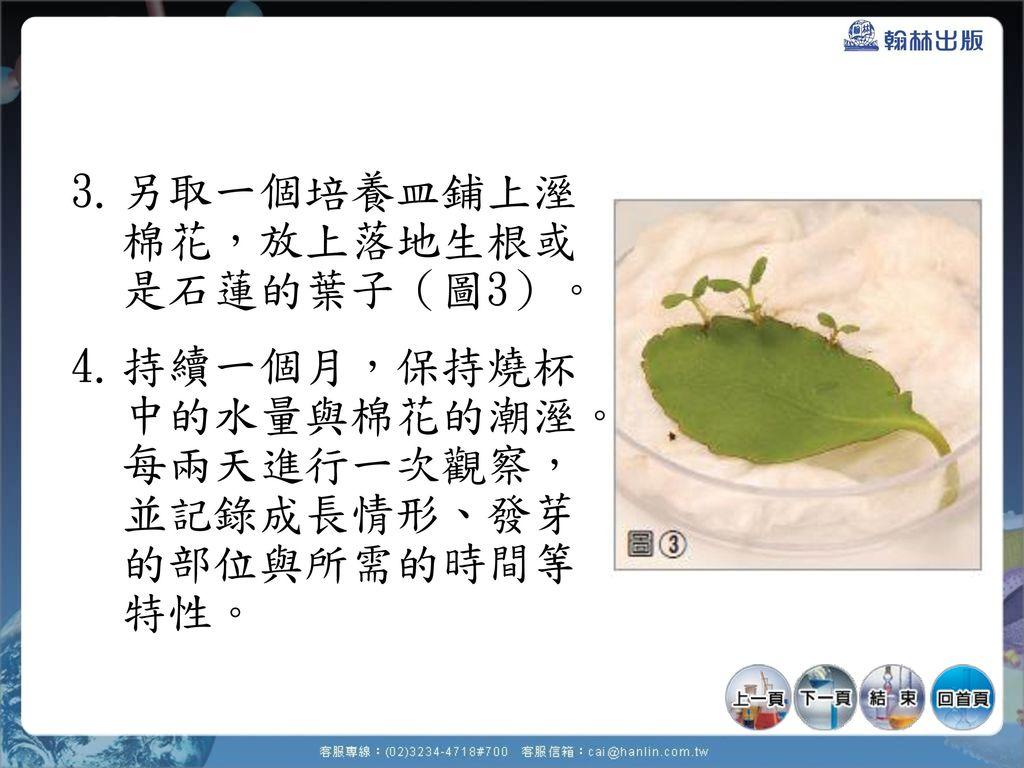 另取一個培養皿鋪上溼棉花,放上落地生根或是石蓮的葉子(圖3)。