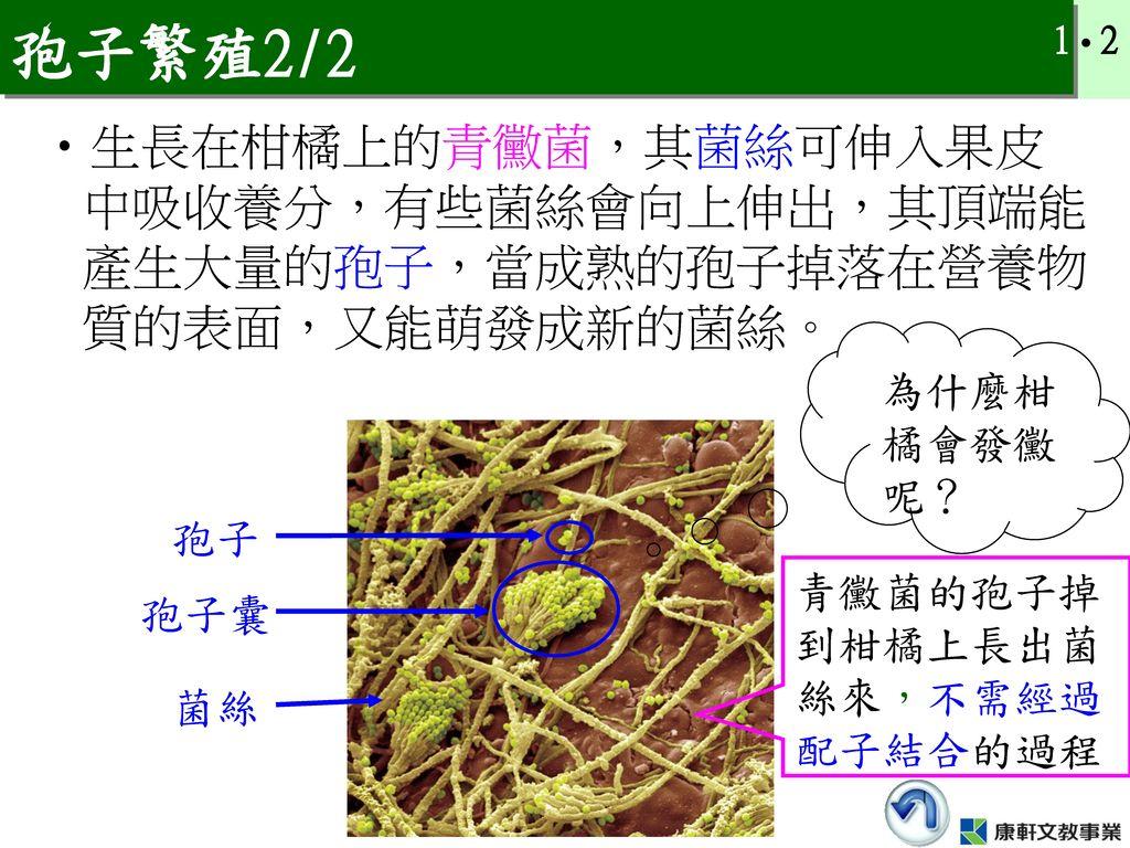 孢子繁殖2/2 生長在柑橘上的青黴菌,其菌絲可伸入果皮中吸收養分,有些菌絲會向上伸出,其頂端能產生大量的孢子,當成熟的孢子掉落在營養物質的表面,又能萌發成新的菌絲。 為什麼柑橘會發黴呢? 孢子.