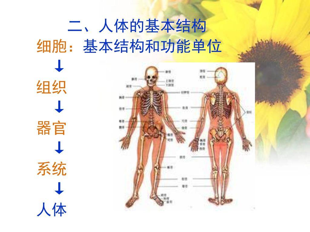 二、人体的基本结构 细胞:基本结构和功能单位 ↓ 组织 器官 系统 人体
