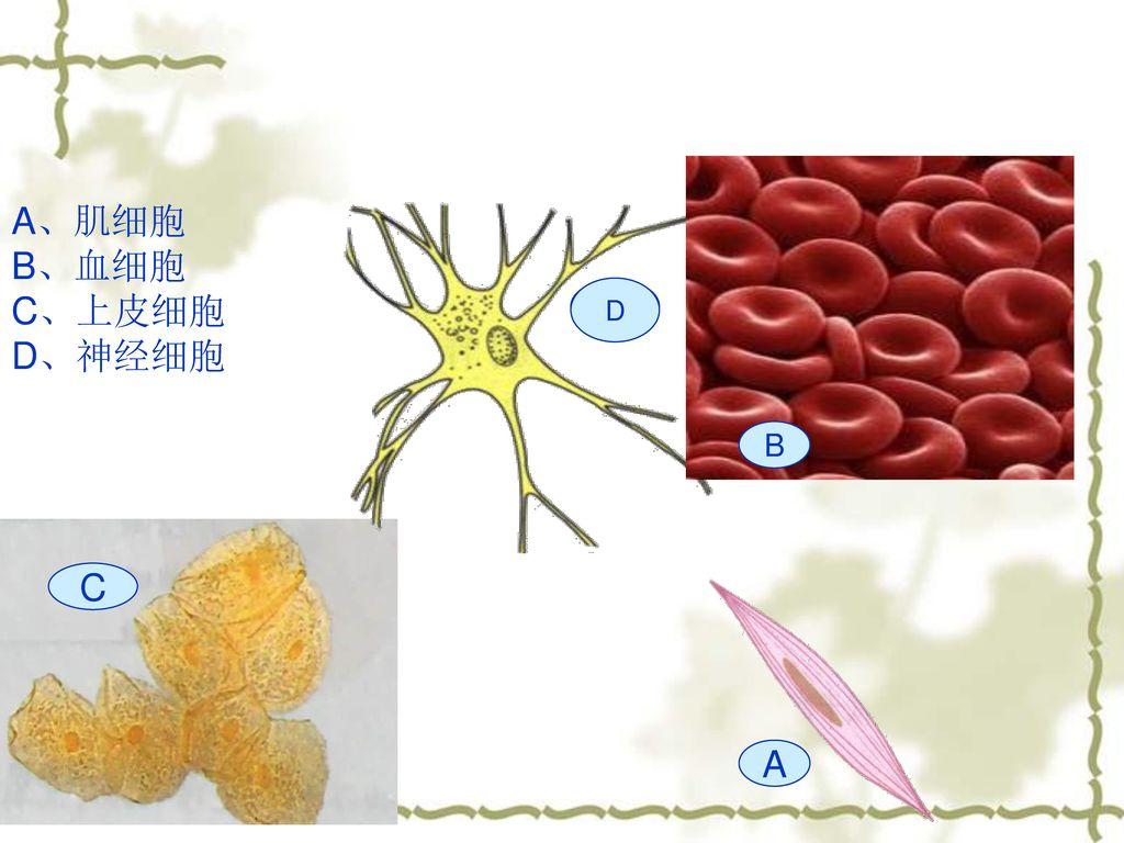 A、肌细胞 B、血细胞 C、上皮细胞 D、神经细胞 E D B C A