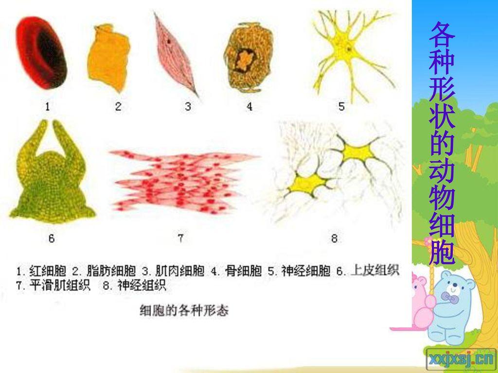 各种形状的动物细胞