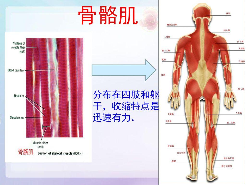 骨骼肌 分布在四肢和躯 干,收缩特点是 迅速有力。