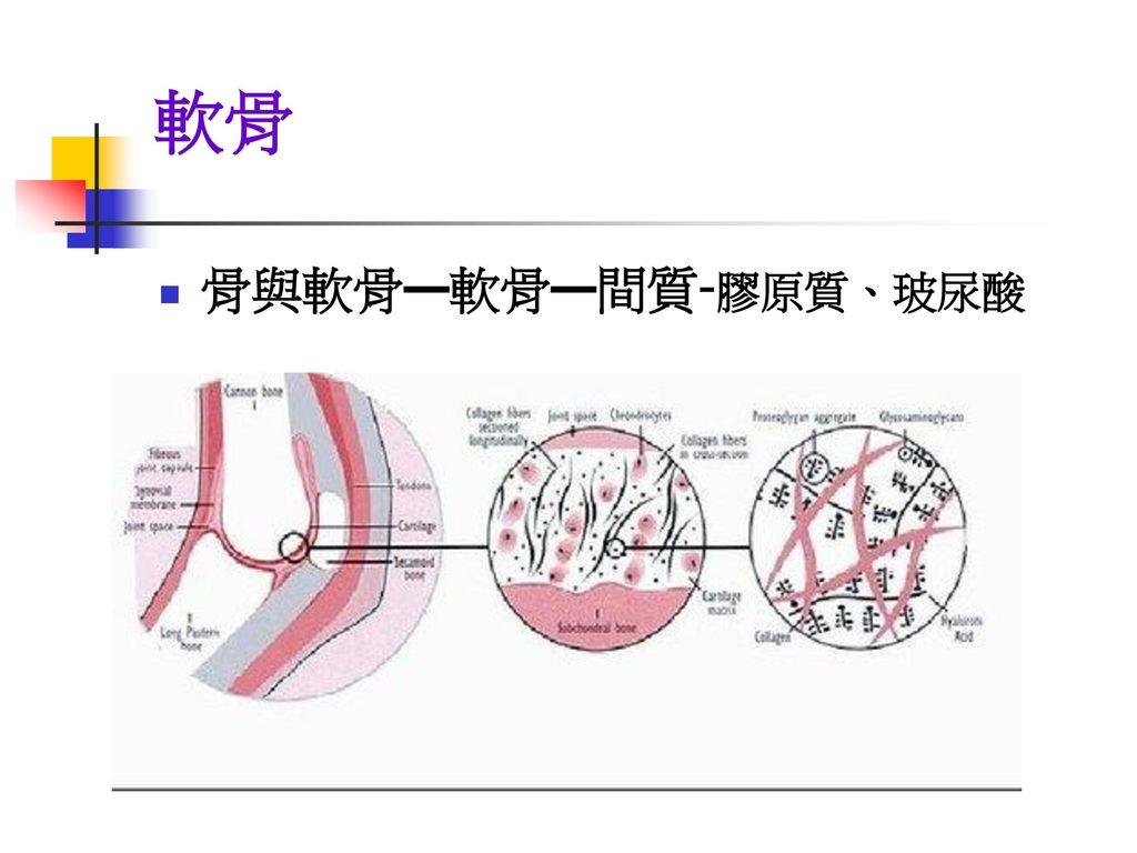 軟骨 骨與軟骨—軟骨—間質-膠原質、玻尿酸