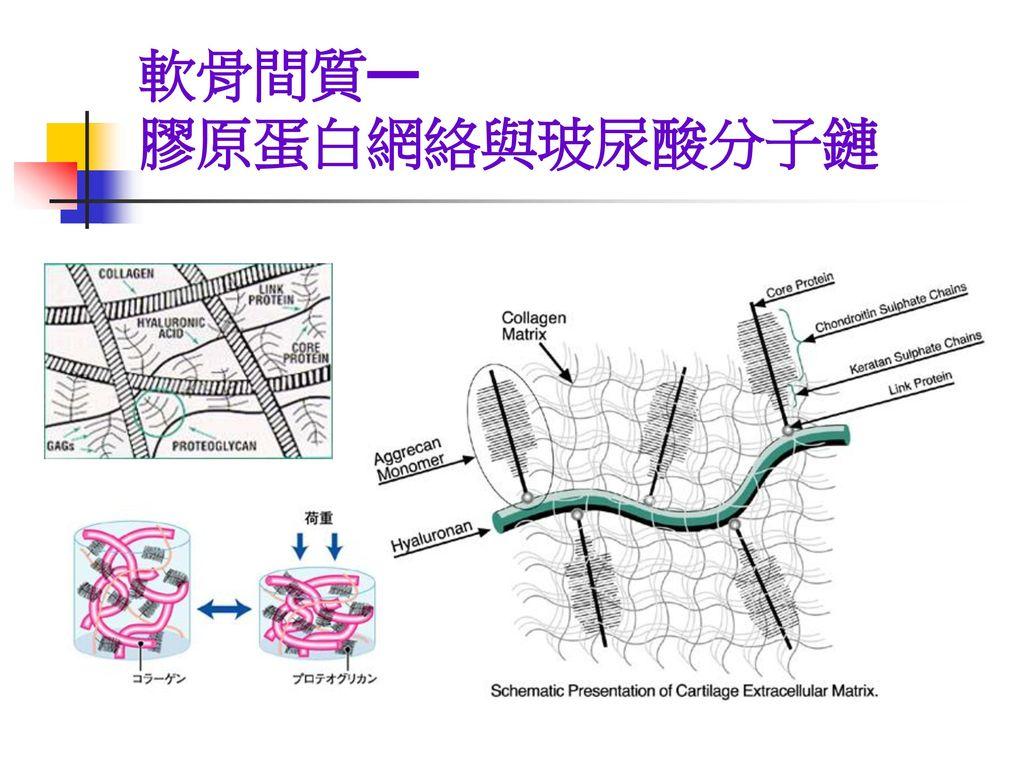 軟骨間質— 膠原蛋白網絡與玻尿酸分子鏈