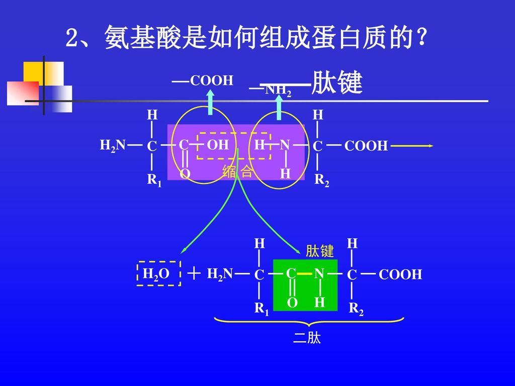 2、氨基酸是如何组成蛋白质的? ——肽键 + COOH NH2 R1 C H H2N OH O R2 COOH H N C 缩 合 R2