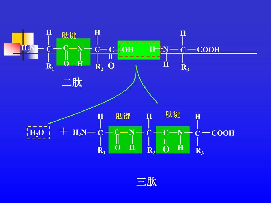 二肽 三肽 = + = 肽键 R2 H N C R1 H2N O C—OH R3 COOH H N C 肽键 R2 C H N R1 H2N