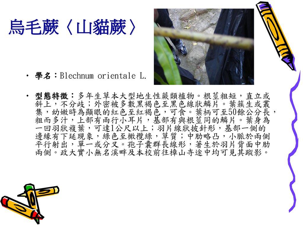 烏毛蕨〈山貓蕨〉 學名:Blechnum orientale L.