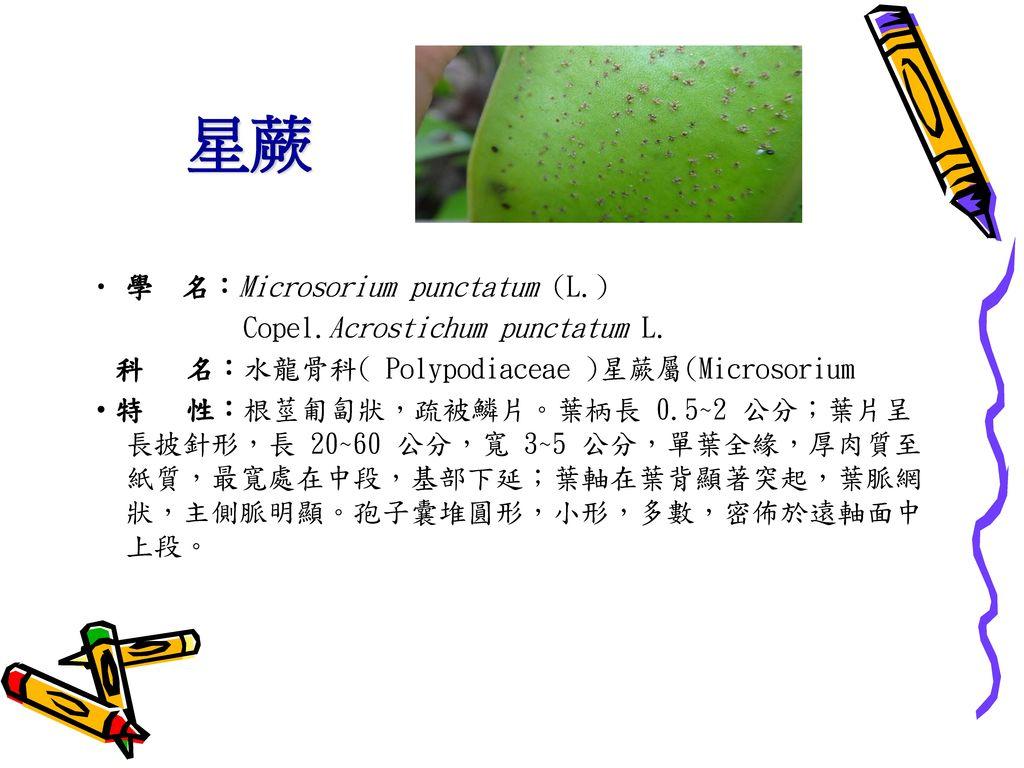 星蕨 學 名:Microsorium punctatum (L.) Copel.Acrostichum punctatum L.