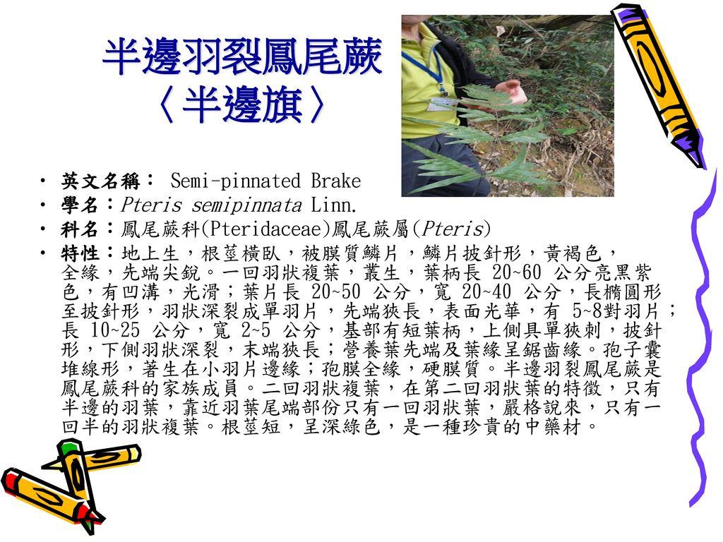 半邊羽裂鳳尾蕨 〈半邊旗〉 英文名稱: Semi-pinnated Brake 學名:Pteris semipinnata Linn.