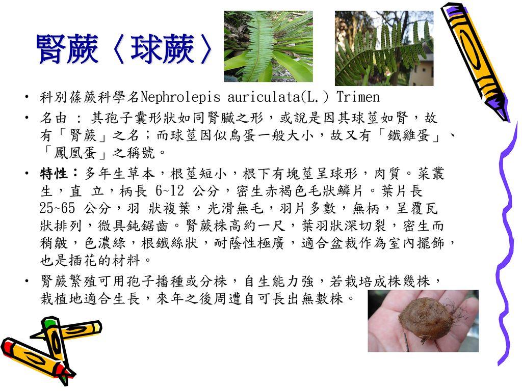 腎蕨〈球蕨〉 科別蓧蕨科學名Nephrolepis auriculata(L.) Trimen