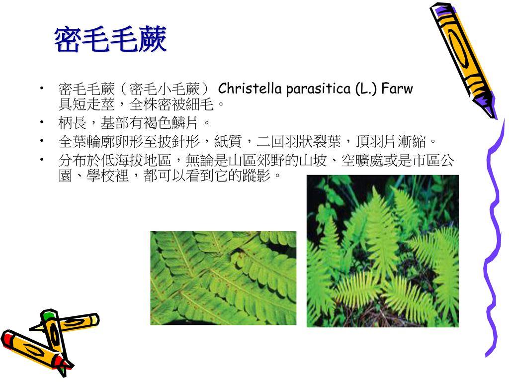 密毛毛蕨 密毛毛蕨(密毛小毛蕨) Christella parasitica (L.) Farw 具短走莖,全株密被細毛。