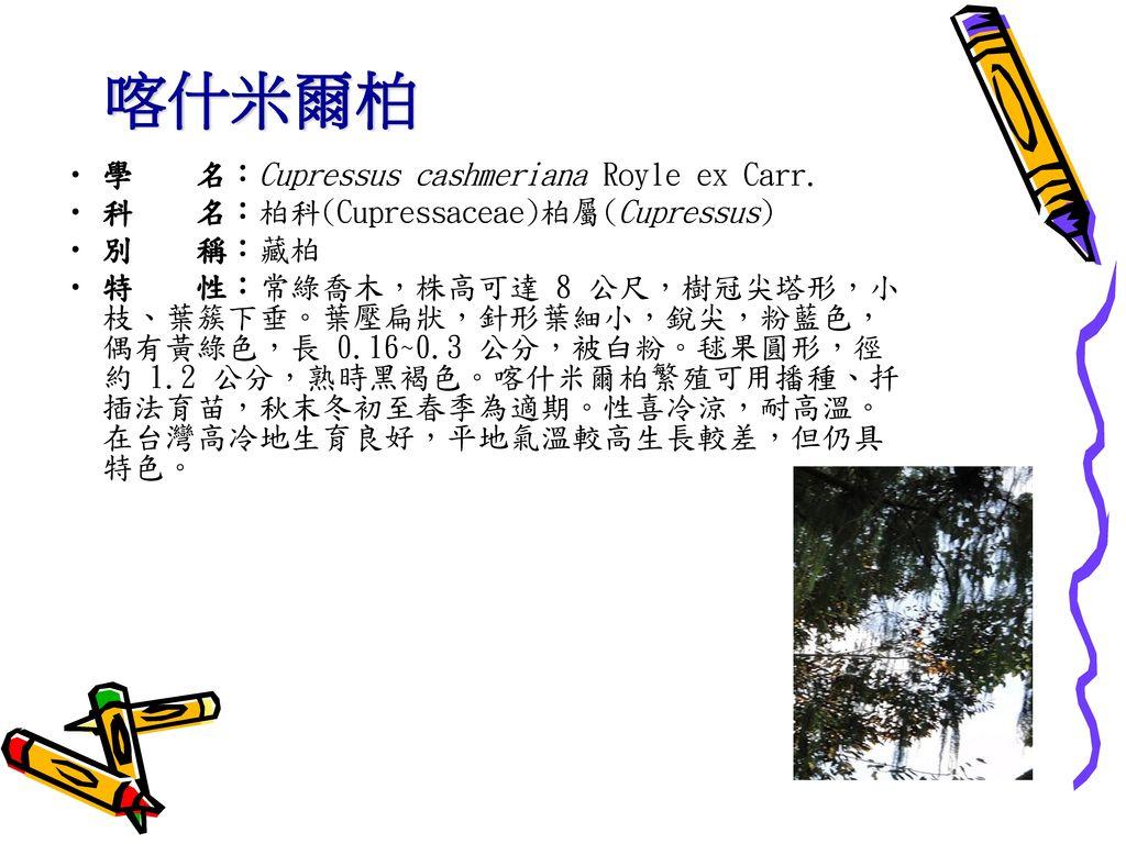 喀什米爾柏 學 名:Cupressus cashmeriana Royle ex Carr.