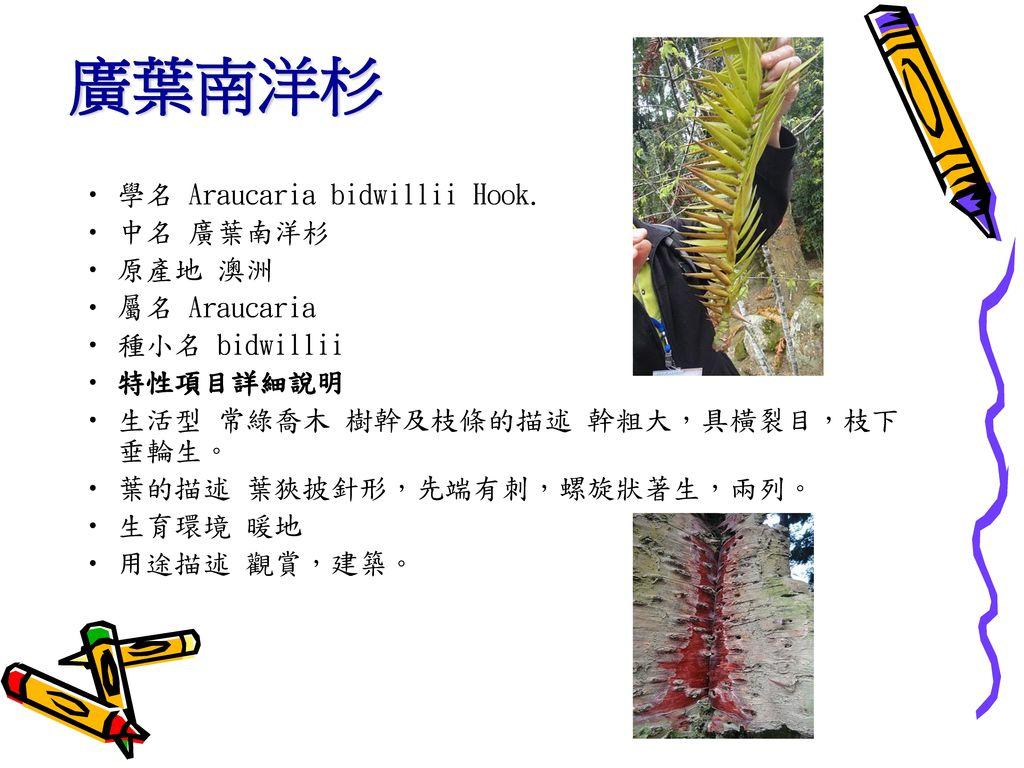 廣葉南洋杉 學名 Araucaria bidwillii Hook. 中名 廣葉南洋杉 原產地 澳洲 屬名 Araucaria