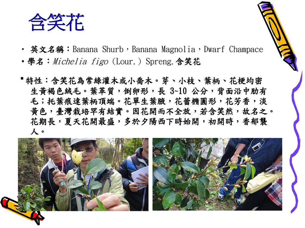 含笑花 英文名稱:Banana Shurb,Banana Magnolia,Dwarf Champace. ‧學名:Michelia figo (Lour.) Spreng.含笑花.
