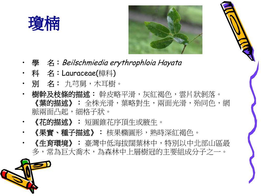 瓊楠 學 名:Beilschmiedia erythrophloia Hayata 科 名:Lauraceae(樟科)