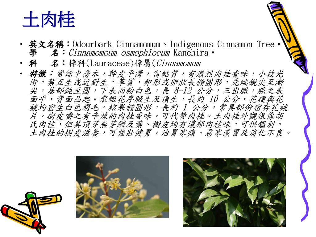 土肉桂 英文名稱:Odourbark Cinnamomum、Indigenous Cinnamon Tree‧學 名:Cinnamomoum osmophloeum Kanehira‧ 科 名:樟科(Lauraceae)樟屬(Cinnamomum.