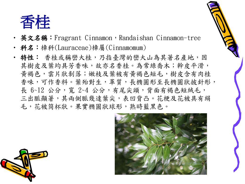 香桂 英文名稱:Fragrant Cinnamon,Randaishan Cinnamon-tree