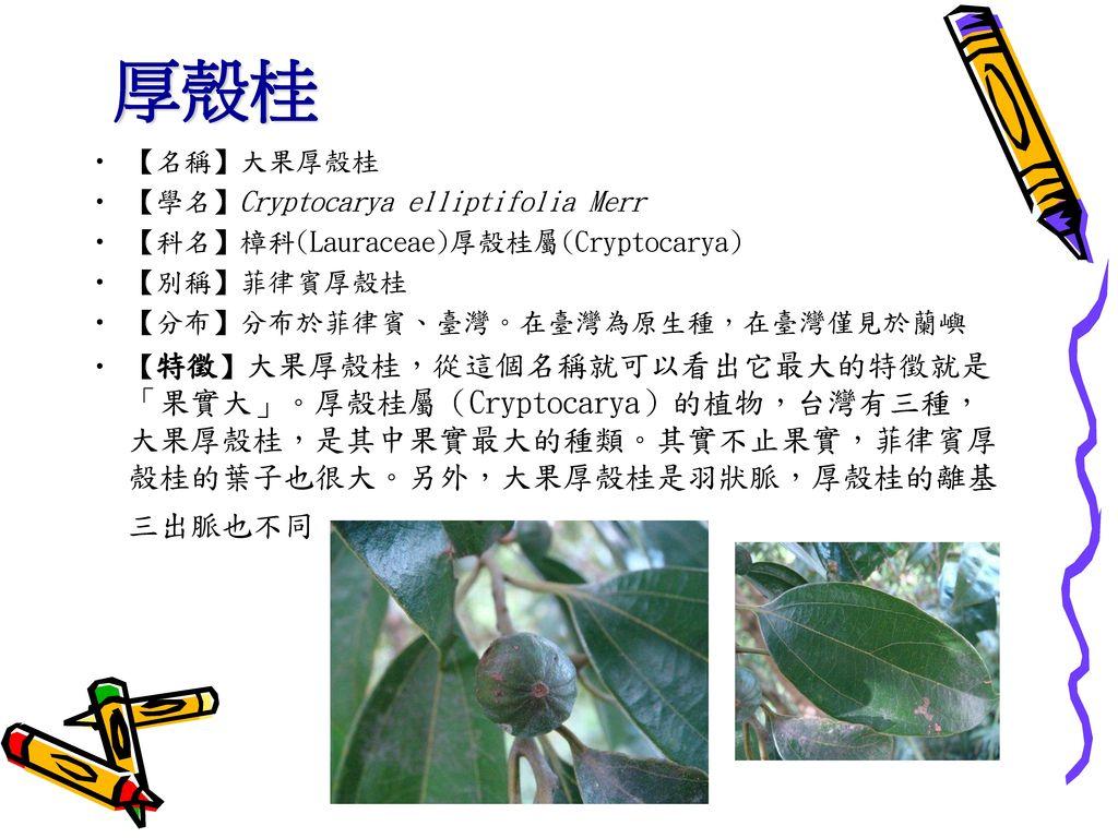 厚殼桂 【名稱】大果厚殼桂 【學名】Cryptocarya elliptifolia Merr