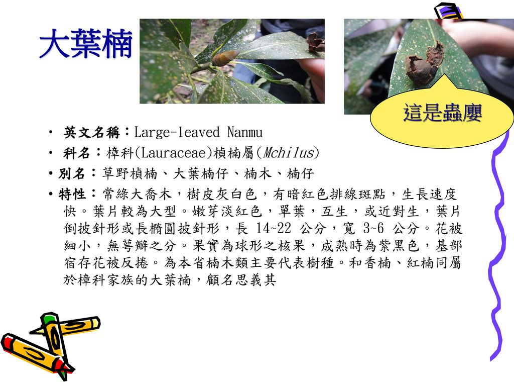 大葉楠 這是蟲廮 英文名稱:Large-leaved Nanmu 科名:樟科(Lauraceae)楨楠屬(Mchilus)