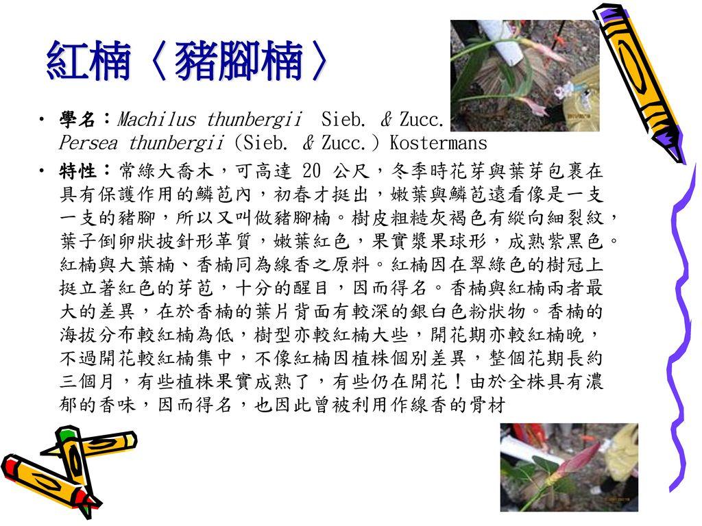 紅楠〈豬腳楠〉 學名:Machilus thunbergii Sieb. & Zucc. Persea thunbergii (Sieb. & Zucc.) Kostermans.