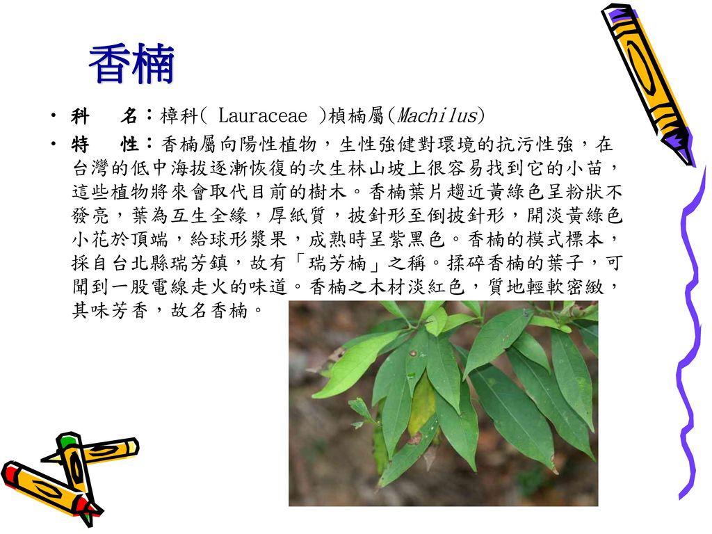 香楠 科 名:樟科( Lauraceae )楨楠屬(Machilus)