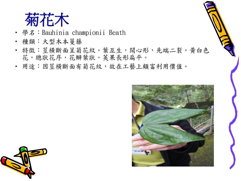 菊花木 學名:Bauhinia championii Beath 種類:大型木本蔓藤