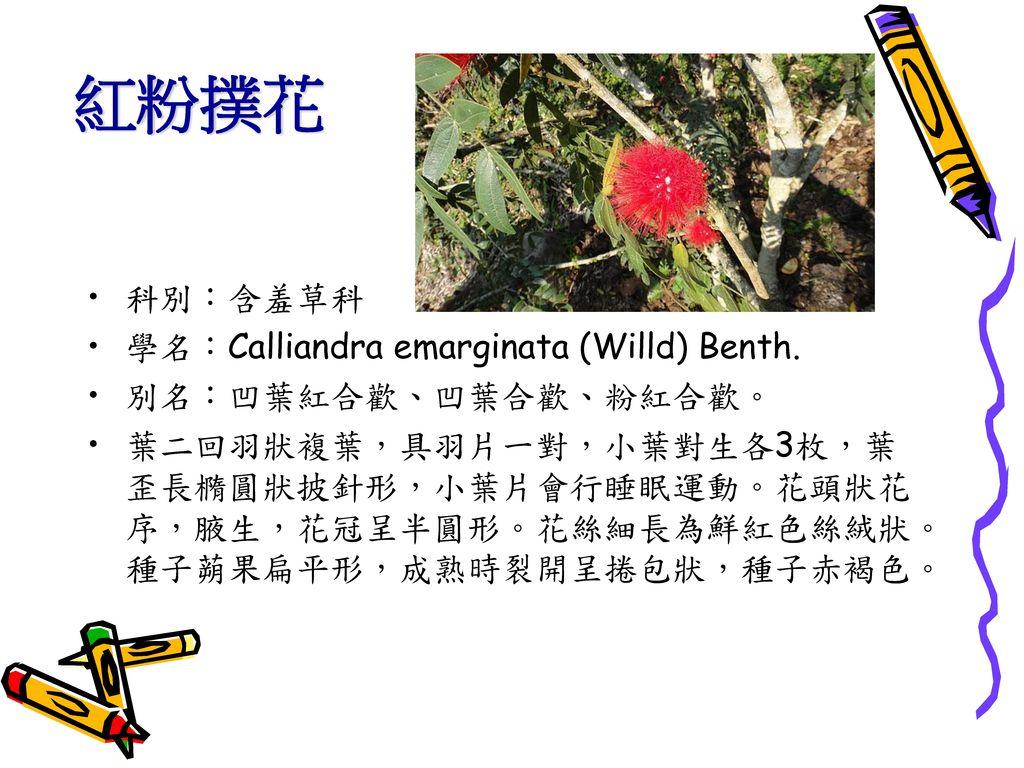 紅粉撲花 科別:含羞草科 學名:Calliandra emarginata (Willd) Benth.
