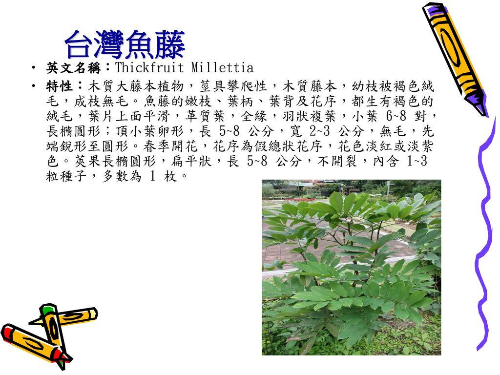 台灣魚藤 英文名稱:Thickfruit Millettia