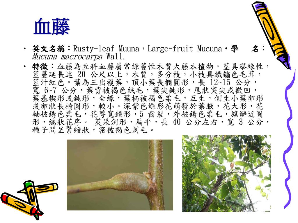 血藤 英文名稱:Rusty-leaf Muuna,Large-fruit Mucuna‧學 名:Mucuna macrocarpa Wall.