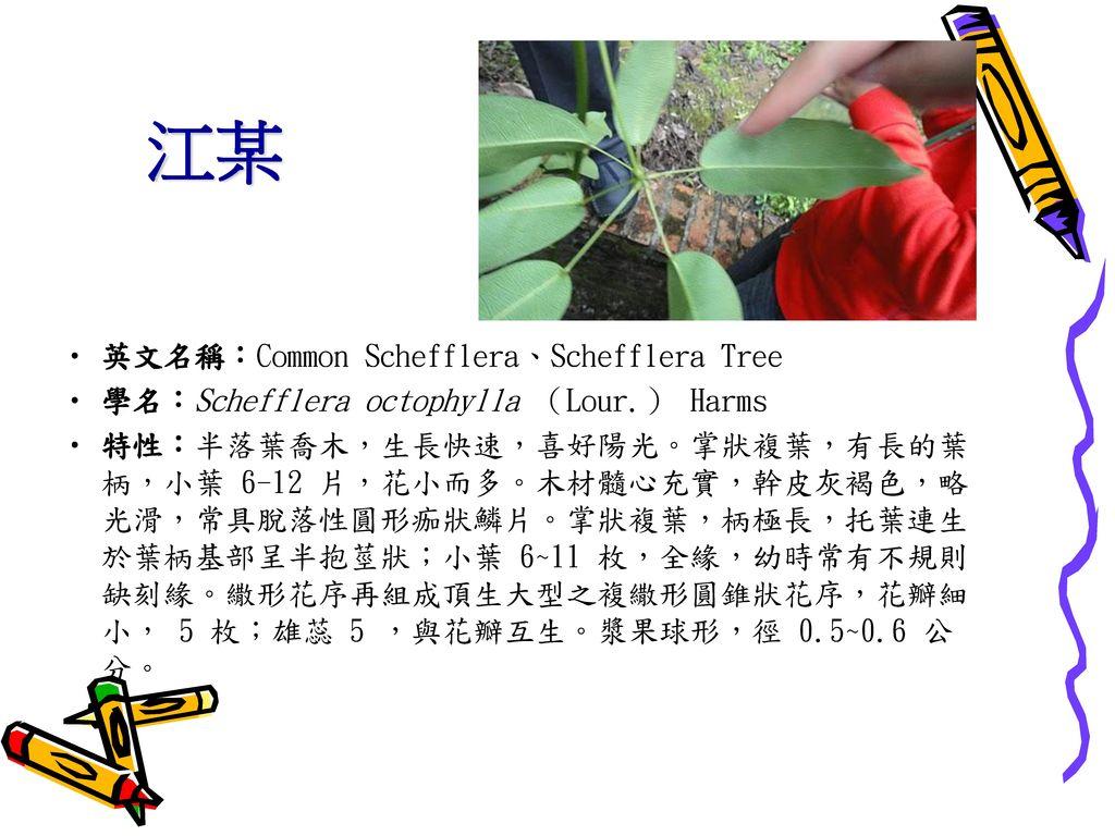 江某 英文名稱:Common Schefflera、Schefflera Tree