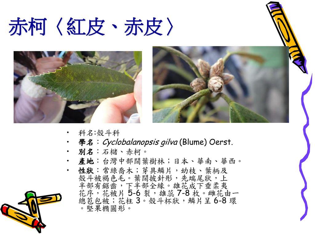 赤柯〈紅皮、赤皮〉 科名:殼斗科 學名:Cyclobalanopsis gilva (Blume) Oerst. 別名:石櫧、赤柯。
