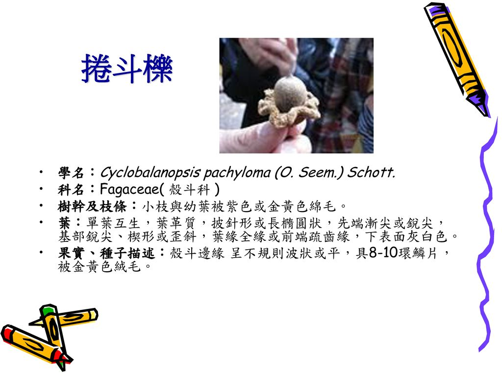 捲斗櫟 學名:Cyclobalanopsis pachyloma (O. Seem.) Schott. 科名:Fagaceae( 殼斗科 )