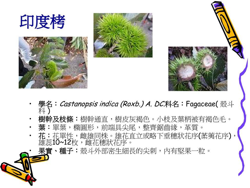 印度栲 學名:Castanopsis indica (Roxb.) A. DC.科名:Fagaceae( 殼斗科 )