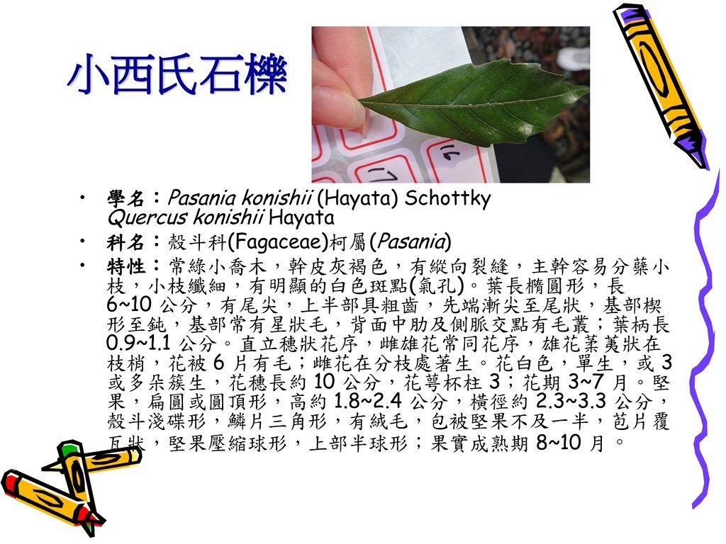 小西氏石櫟 學名:Pasania konishii (Hayata) Schottky Quercus konishii Hayata